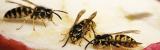 Insekten im Sommer: Tipps zum Umgang mit Wespen, Hornissen & Co