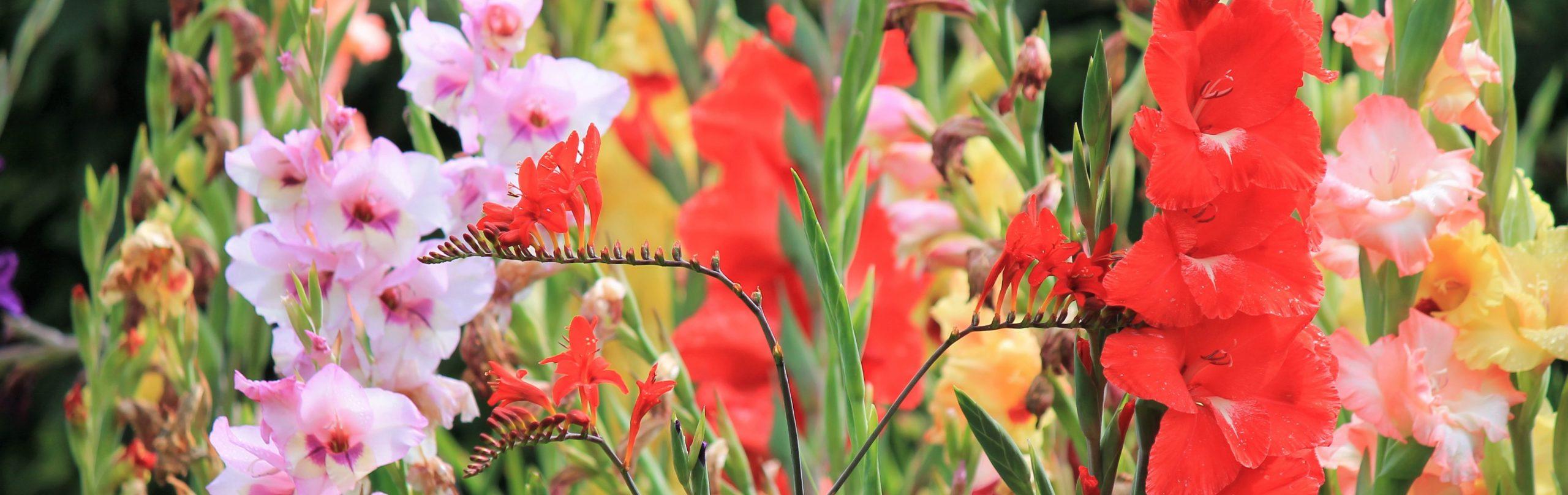 Gladiolen – Alles über Pflege, Standort und Überwinterung