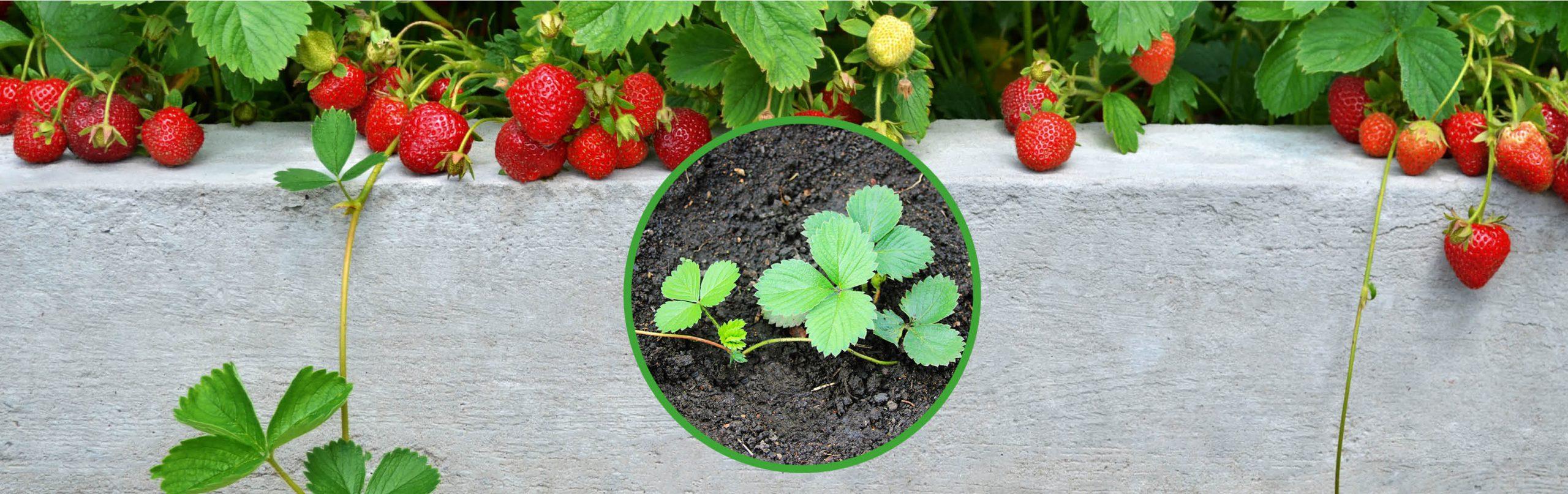 Erdbeer-Ableger – so ziehst du dir neue Pflanzen