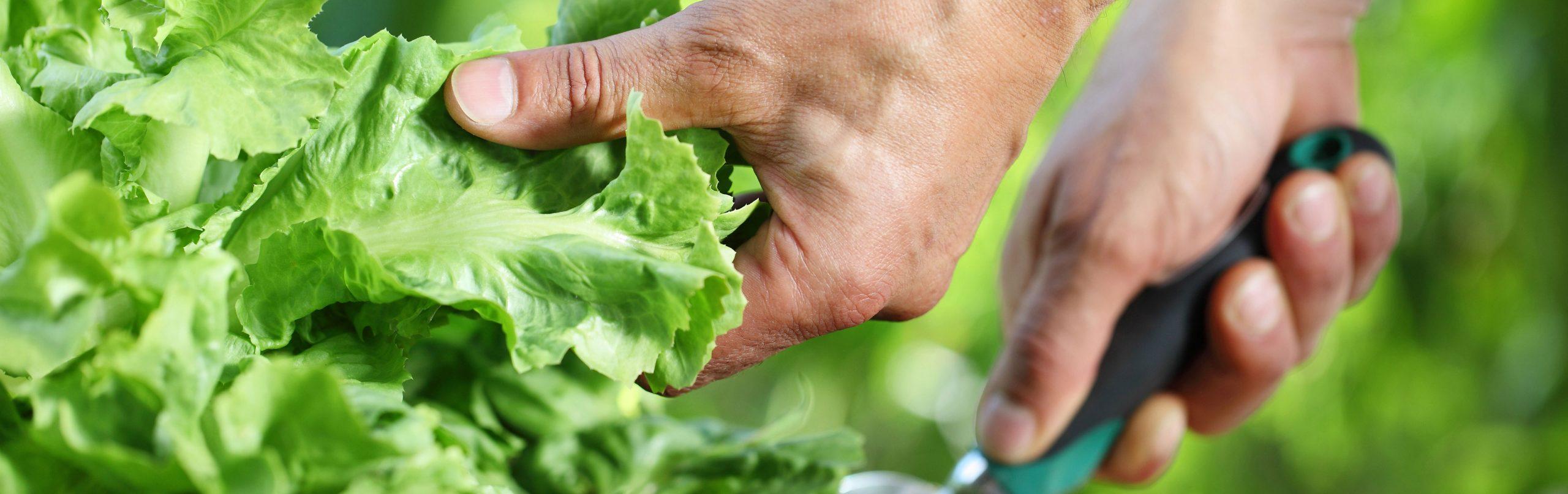 Warum schießt Salat?